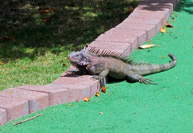 st thomas iguana